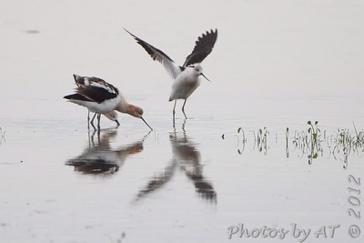 American Avocet  Heron Pond  Riverlands Migratory Bird Sanctuary