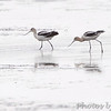 American Avocet <br /> Heron Pond <br /> Riverlands Migratory Bird Sanctuary