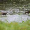 Sora <br /> Heron Pond <br /> Riverlands Migratory Bird Sanctuary