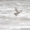 Peregrine Falcon <br /> Heron Pond <br /> Riverlands Migratory Bird Sanctuary