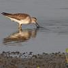 Lesser Yellowlegs <br /> Heron Pond <br /> Riverlands Migratory Bird Sanctuary