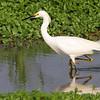 Snowy Egret <br /> Heron Pond <br /> Riverlands Migratory Bird Sanctuary
