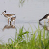 Greater and Lesser Yellowlegs <br /> Heron Pond <br /> Riverlands Migratory Bird Sanctuary