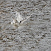 Forster's Tern<br /> Riverlands Migratory Bird Sanctuary