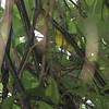 Canada Warbler <br /> Tower Grove Park
