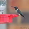 Ruby-throated Hummingbird <br /> City of Bridgeton <br /> St. Louis County, Missouri <br /> 8/19/12