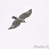 Red-tailed Hawk <br /> City of Bridgeton <br /> St. Louis County, Missouri <br /> 8/19/12