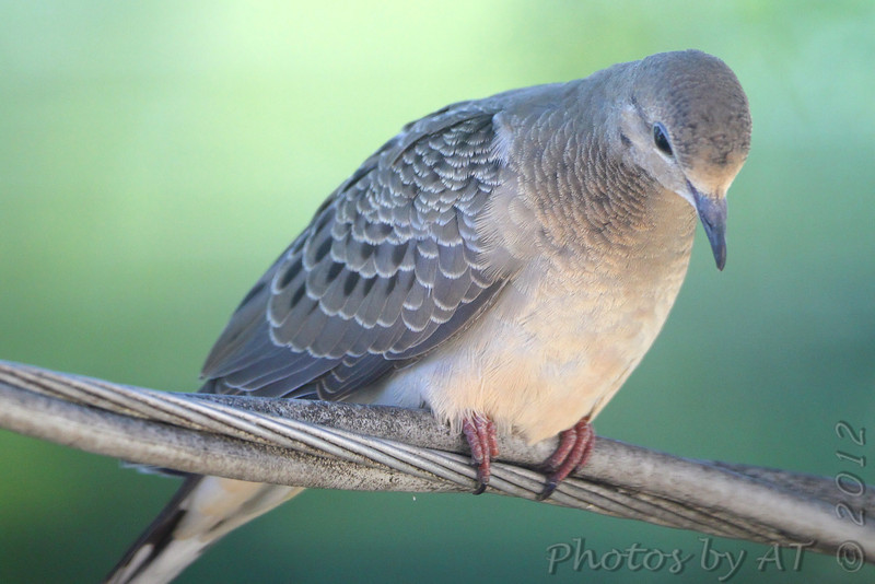 Mourning Dove <br /> City of Bridgeton <br /> St. Louis County, Missouri <br /> 8/06/12