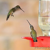 Ruby-throated Hummingbirds <br /> City of Bridgeton <br /> St. Louis County, Missouri <br /> 8/19/12