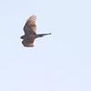 Sharp-shinned Hawk <br /> Faust Park