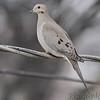 Mourning Dove <br /> City of Bridgeton <br /> St. Louis County, Missouri <br /> 12/30/12