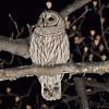 Barred Owl <br /> City of Bridgeton <br /> St. Louis County, Missouri <br /> 12/24/12