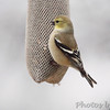 American Goldfinch <br /> City of Bridgeton <br /> St. Louis County, Missouri <br /> 12/30/12
