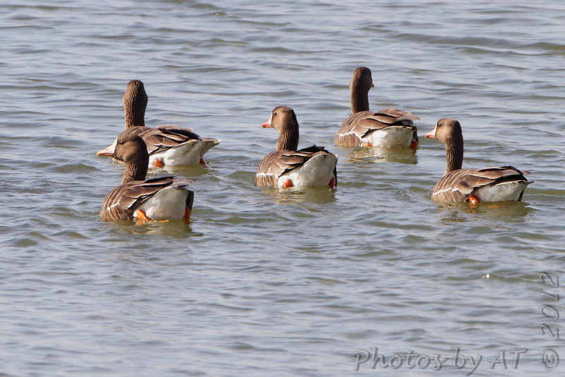 Greater White-fronted Geese <br /> Teal Pond <br /> Riverlands Migratory Bird Sanctuary <br /> 2/1/2012
