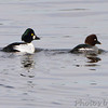 Common Goldeneye <br /> Teal Pond <br /> Riverlands Migratory Bird Sanctuary <br /> 2/1/2012