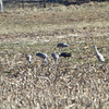 Hooded Crane <br /> and Sandhill Cranes <br /> Goose Pond FWA Unit BH5S <br /> Greene County, Indiana