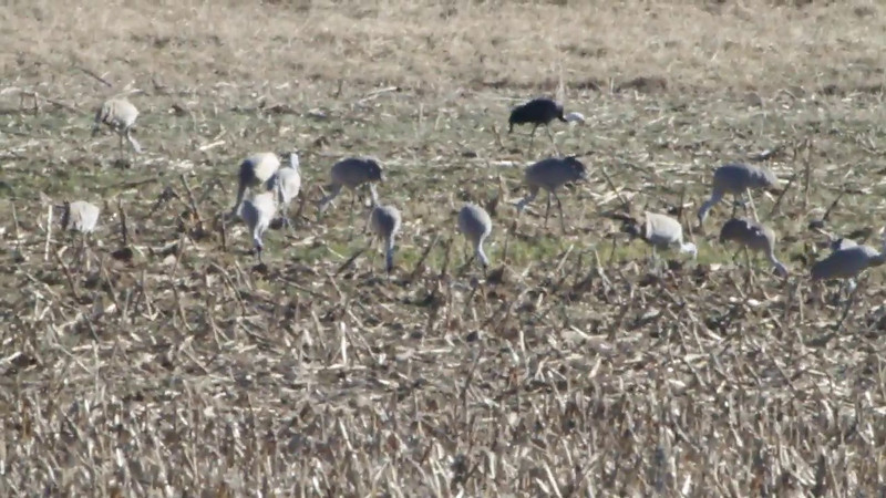 "Hooded Crane <br> and Sandhill Cranes <br> Goose Pond FWA Unit BH5S <br> Greene County, Indiana <br><br><span class=""noShowSmart""> <a href=""/MyKeywords/Bird-Videos/n-gF9bt/i-CBwXpsc/A""> <span style=""color:yellow"">Click here to open video in lightbox/full screen</span></a> </span>  <span class=""noShowGallery""> <a href=""/Birds/Birding-2012-February/2012-02-12-Hooded-Crane/i-CBwXpsc/A""> <span style=""color:yellow"">Click here to open video in lightbox/full screen</span></a> </span>"