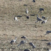 "Hooded Crane <br> and Sandhill Cranes <br> Goose Pond FWA Unit BH5S <br> Greene County, Indiana <br><br><span class=""noShowSmart""> <a href=""/MyKeywords/Bird-Videos/n-gF9bt/i-nLMM9Vx/A""> <span style=""color:yellow"">Click here to open video in lightbox/full screen</span></a> </span>  <span class=""noShowGallery""> <a href=""/Birds/Birding-2012-February/2012-02-12-Hooded-Crane/i-nLMM9Vx/A""> <span style=""color:yellow"">Click here to open video in lightbox/full screen</span></a> </span>"