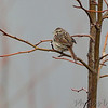 Savannah Sparrow  <br /> Pickering Creek Audubon Center <br /> Talbot County, Maryland <br /> 2/17/12