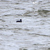 Black Scoter (male) <br /> Point Lookout <br /> Chesapeake Bay <br /> St. Mary's County, Maryland <br /> 2/14/12