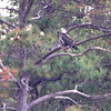 Bald Eagle <br /> Point Lookout <br /> Chesapeake Bay <br /> St. Mary's County, Maryland <br /> 2/14/12