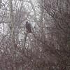Golden Eagle <br /> In the fog <br /> Pickering Creek Audubon Center <br /> Talbot County, Maryland <br /> 2/17/12
