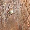 Brown Thrasher <br /> Pickering Creek Audubon Center <br /> Talbot County, Maryland <br /> 2/17/12