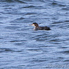 Common Loon <br /> Point Lookout <br /> Chesapeake Bay <br /> St. Mary's County, Maryland