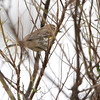 Yellow-rumped Warbler <br /> Point Lookout <br /> Chesapeake Bay <br /> St. Mary's County, Maryland