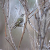 Golden-crowned Kinglet <br /> Point Lookout <br /> St. Mary's County, Maryland