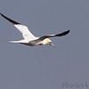 Northern Gannet <br /> Point Lookout <br /> Chesapeake Bay <br /> St. Mary's County, Maryland