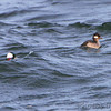 Bufflehead <br /> Point Lookout <br /> Chesapeake Bay <br /> St. Mary's County, Maryland