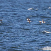 Long-tailed Ducks <br /> Point Lookout <br /> Chesapeake Bay <br /> St. Mary's County, Maryland