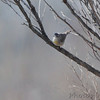 Virginia's Warbler <br /> Maryland's 1st record <br /> Pickering Creek Audubon Center <br /> Talbot County, Maryland