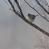 Virginia's Warbler <br /> (Maryland's 1st state record)<br /> Pickering Creek Audubon Center <br /> Talbot County, Maryland