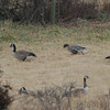 Pink-footed Goose <br /> and Canada Geese<br /> Behind Jennings Chapel Cemetery <br /> Howard County, Maryland