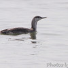 Red-throated Loon <br /> Indian River Inlet <br /> Delaware
