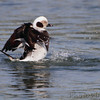 Long-tailed Duck <br /> Indian River Inlet <br /> Delaware