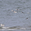 Long-tailed Ducks <br /> Indian River Inlet <br /> Delaware
