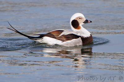 Long-tailed Duck  Indian River Inlet  Delaware