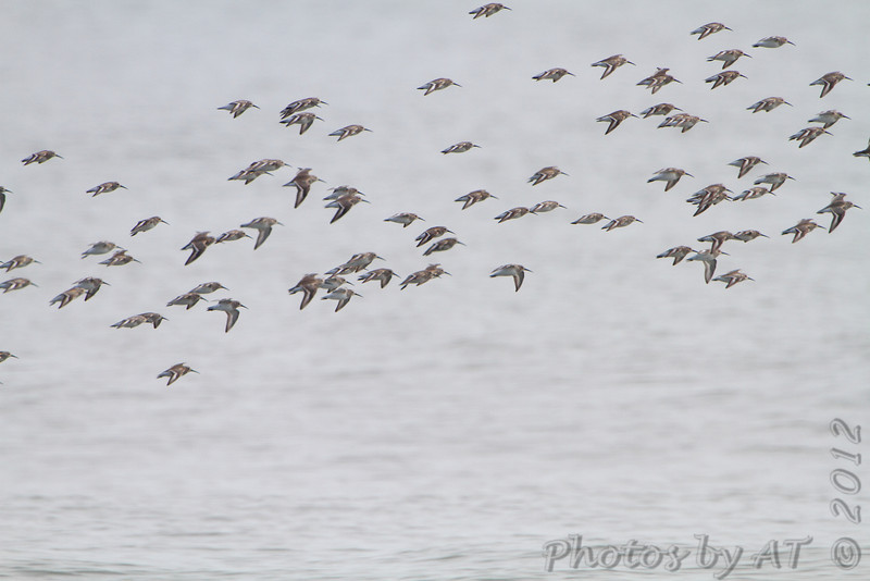 Dunlin ?<br /> Indian River Inlet <br /> Delaware