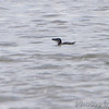 Razorbill <br /> Indian River Inlet <br /> Delaware