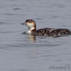 Common Loon <br /> Indian River Inlet <br /> Delaware