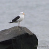 Great Blacked-backed Gull <br /> Indian River Inlet <br /> Delaware