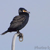 Great Cormorant <br /> Indian River Inlet <br /> Delaware