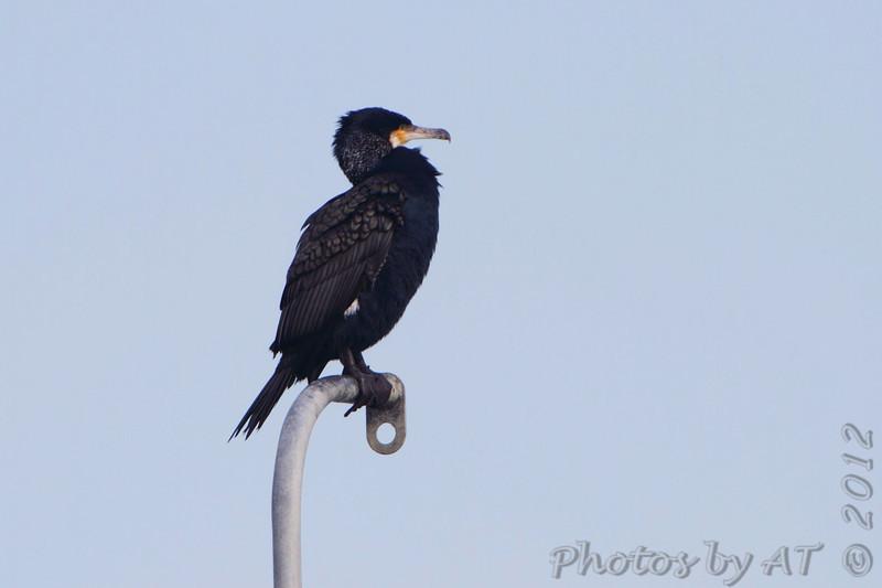 Great Cormorant <br /> Indian River Inlet <br /> Delaware