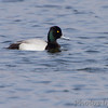 Greater Scaup <br /> Solomons Island <br /> Calvert County Maryland