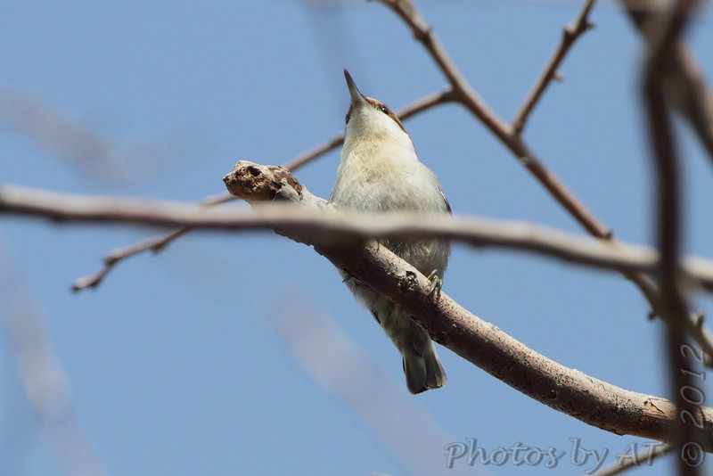 Brown-headed Nuthatch <br /> Point Lookout State Park <br /> St. Marys County Maryland