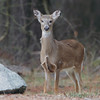 Whitetail Deer <br /> Point Lookout State Park <br /> St. Marys County Maryland