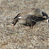 (Copy of photo for testing) <br /> Greater White-fronted Goose  (Greenland) <br /> Solomons Island <br /> Calvert County Maryland